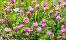 Purple Flowering Clover Plants...