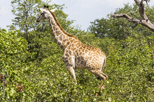 Giraffe standing inside Kruger Nationalpark, South Africa Poster