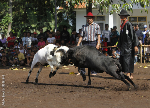 A Man Referees A Ram Fight During A Sundanese Traditional Cultural