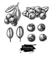 Blueberry Vector Drawing Set. ...