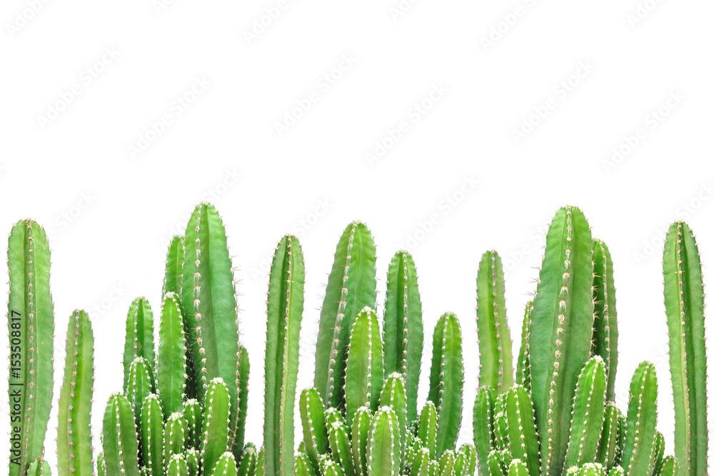 Photo  Cactus on isolated background