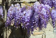 Plant De Glycine Sur Le Mur D'...