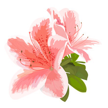 Vector Illustration Of Two Delicate Pink And White Flower, Bud Of Rhododendron, Bloom On A Branch. Beautiful Azalea On White Background