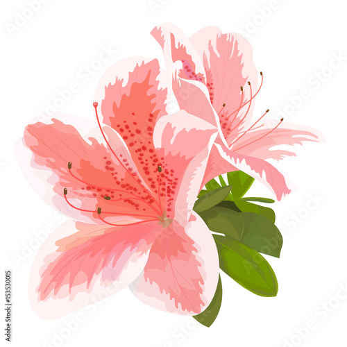 Vector illustration of two delicate pink and white flower, bud of rhododendron, bloom on a branch Canvas Print