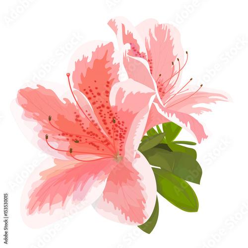 Plakat Wektorowa ilustracja dwa delikatny różowy i biały kwiat, pączek różanecznik, kwiat na gałąź. Piękna azalia na białym tle
