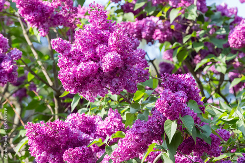 Fotobehang Lilac Lilac bloomed in the botanical garden