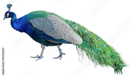 Foto op Aluminium Pauw The big peacock