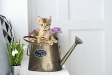 Little Kitten In A Watering Ca...