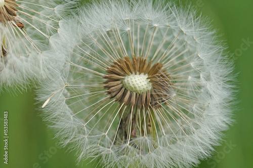 Dandelion zanika na wiosnę, a jego nasiona niesione są przez wiatr