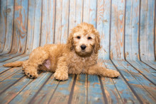 Labradoodle On Blue Wooden Bac...