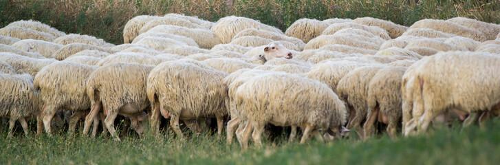 Fototapeta na wymiar Flock of sheep grazing