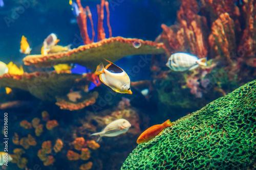 Plakat Shoal grupa wielu czerwonych żółtych ryb tropikalnych w niebieskiej wodzie z rafy koralowej, kolorowy podwodny świat, copyspace dla tekstu, tapety tło