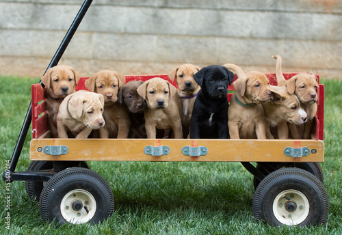Special Delivery - Adorable litter of puppies in a wagon Fototapet