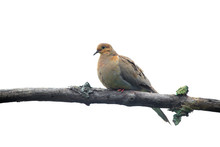 Laughing Dove Bird On The Tree Branch