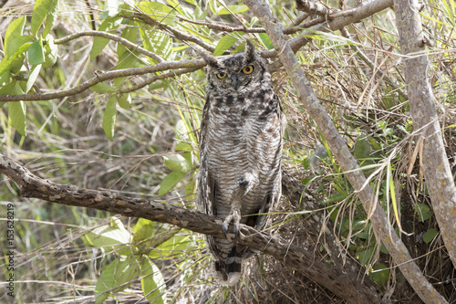 Spotted Eagle-Owl (Bubo africanus) Perched in a Tree in Daylight in Northern Tan Wallpaper Mural