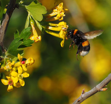 Bumblebee In Flight Drinks Nectar From Yellow Flower