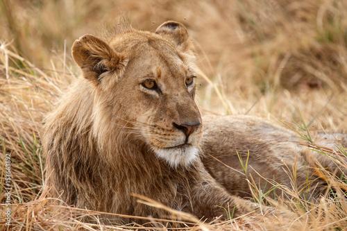 Foto op Plexiglas Leeuw Lion - Okavango Delta - Moremi N.P.