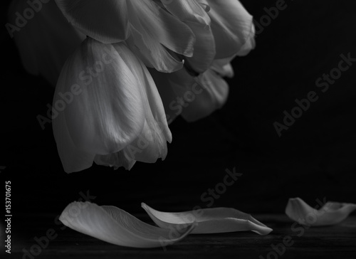 Fotografía  Close up of White tulips a dark background with petals