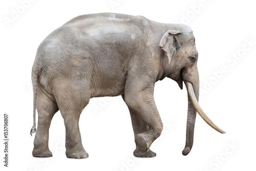 Large male elephant isolated on white
