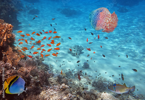 Fotografía  Coral Reef and Jellyfish in the Red Sea, Egypt