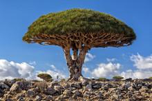 Socotra Island. Dragon Tree.