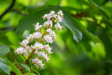 Horse Chestnut (Aesculus Hippocastanum) Flowers On A Tree.