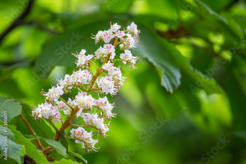 Photo Horse chestnut (Aesculus hippocastanum) flowers on a tree.