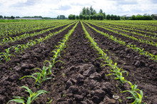 Rows Of Young, Freshly Germinated Corn Plants