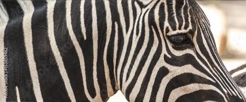 In de dag Zebra Detail of neck, head and eye of a striped zebra