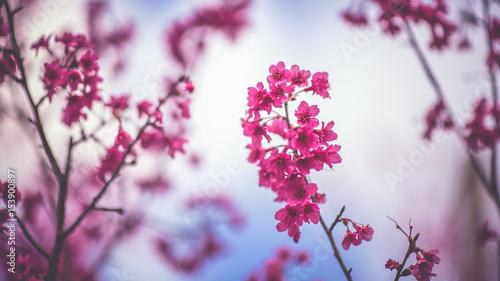 Shocking pink flowers blurred background buy this stock photo and shocking pink flowers blurred background mightylinksfo