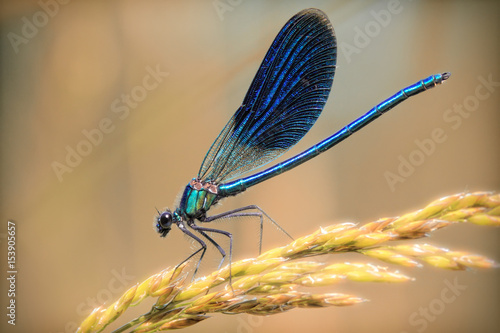 Blue dragonfly close-up on  a golden branch of wheat.