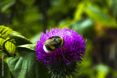 Photo  bourdon/bourdon sur une fleur de chardon