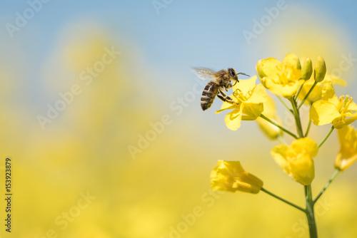Foto op Plexiglas Bee Biene sammelt Honig - Rapsblüte im Frühling