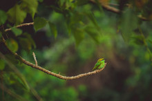 A Small Green Tropical Bird Sits On A Branch