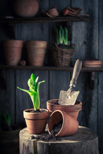 Repotting Green Plants In Old Red Clay Pots