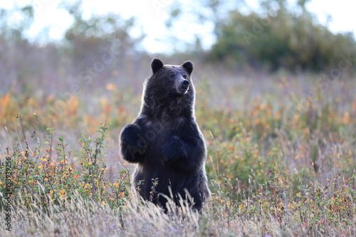 Obraz na plátně Grizzly bear (Ursus arctos horribilis), Glacier National Park, Montana, United S