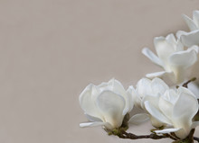 Delicate  White Magnolia Flowers   For Wedding Invitations,  Advertisements, Posters, Signs, And  Other Great Ideas And Concepts.  Horizontal Background.