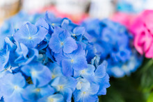 Light Pale Blue Hydrangea Flowers Macro Closeup With Bokeh