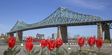 View Of Jacques Cartier Bridge In Montreal With Red Tulips On Front