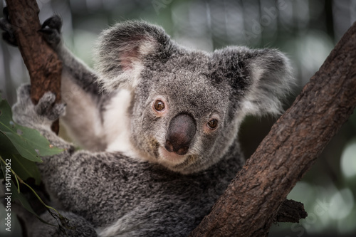 Staande foto Koala Koala on the tree in Cairns, Australia