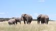 Elephants playing at a mud hole, Etosha National Park, Namibia, Africa