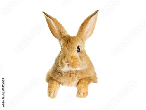 Funny redhead rabbit peeking