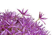 Purple Flowers Of Ornamental O...