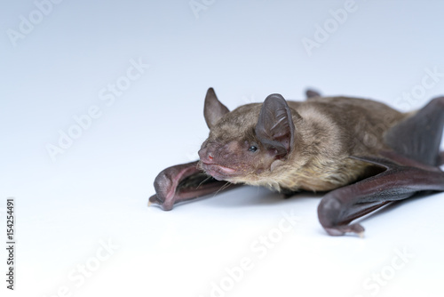 small bat in front of white background, close up studio shot with copy space.