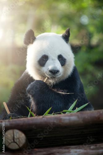 Obrazy na płótnie Canvas portrait of nice panda bear eating in summer environment