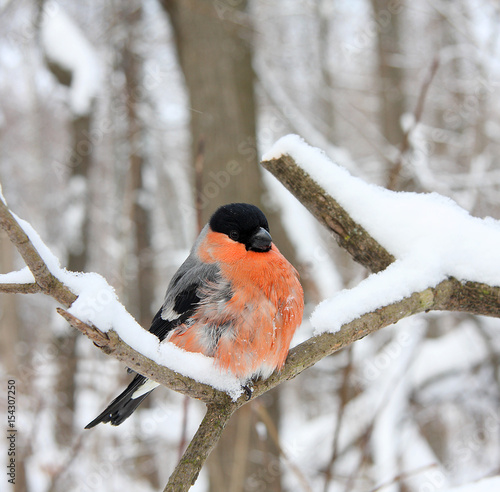 Fotografia, Obraz The bullfinch with a red breast
