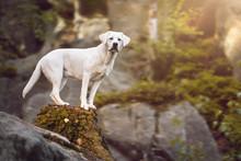 Junger Weißer Labrador Retrie...