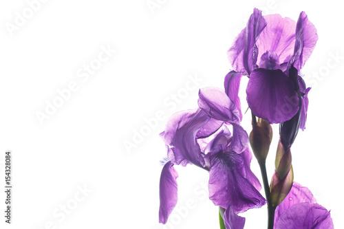 Poster Iris beautiful dark purple iris flower