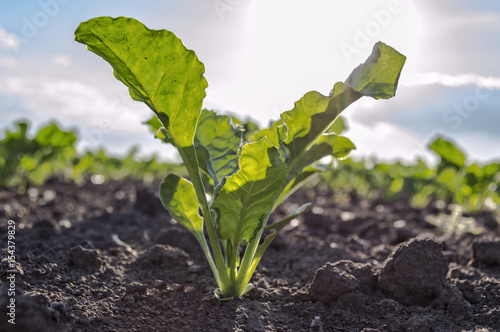 Young sugar beet plant in field.