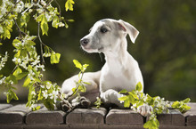 Puppy Whippet Among Blooming C...